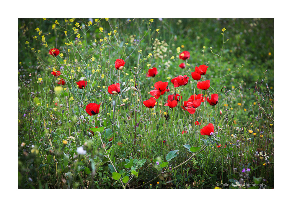 photoblog image Poppies